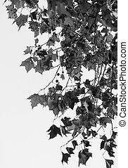 Monochromatic view of autumn leaves on white