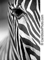 Monochromatic zebra skin texture - Monochromatic image of a...