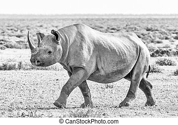 Monochrome black rhino covered with white calcrete dust, walking