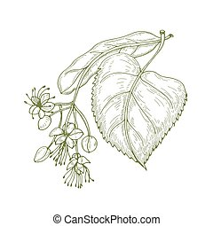 Monochrome drawing of linden leaves and beautiful blooming flowers or inflorescence. Medicinal plant hand drawn with contour lines on white background. Botanical vector illustration in vintage style.