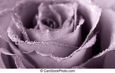 monochrome rose - close-up of dew-kissed rose; monochrome...