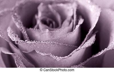 monochrome rose - close-up of dew-kissed rose; monochrome...