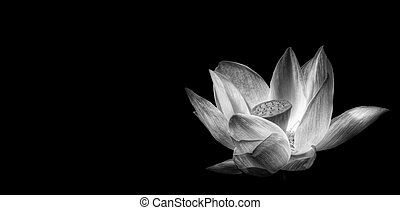 Monochrome sacred lotus flower isolated on black - Black and...