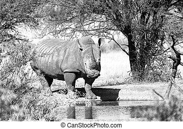 Monochrome white rhino at waterhole
