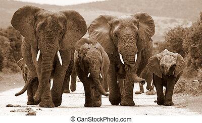 monochroom, kudde, olifanten