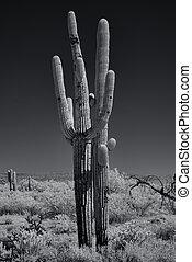 monochroom, saguaros