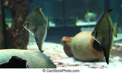 Monodactylidae in beautifully decorated freshwater Aquarium...