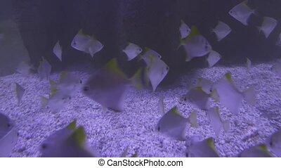 Monodactylus argenteus in saltwater aquarium stock footage...