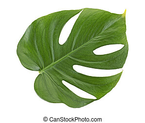 Monstera green jungle leaf isolated on white background