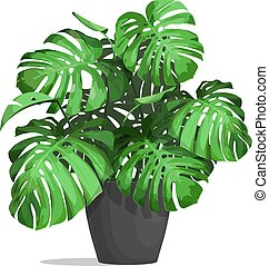 monstera in a pot - Monstera in a pot. Tropical plant for...