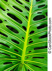 Monstera leaf - closeup of a green monstera leaf showing its...
