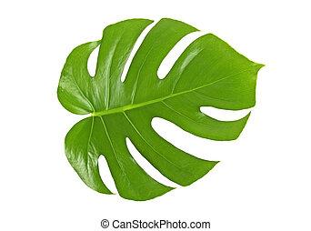 Monstera leaf isolated on white background
