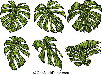Monstera leaf sketch by hand drawing.