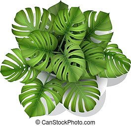 monstera plant in a pot top view - Monstera plant in a pot, ...