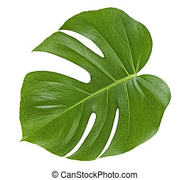 Monstera plant leaf - tropical evergreen vine isolated on white background.