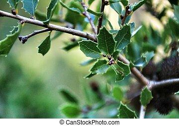 montaña, planta, hermoso, coccifera, quercus, nativo