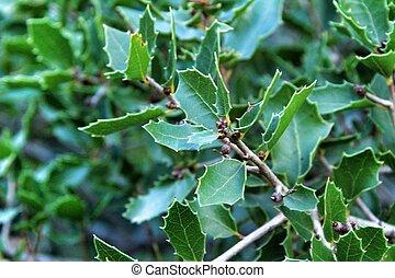 montaña, planta, quercus, coccifera, nativo, hermoso