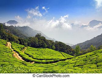 montaña, plantación de té, en, india
