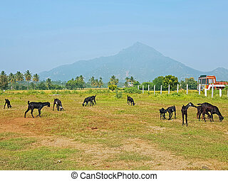 montaña, santo, india, arunachala, tamil nadu, tiruvanamalai