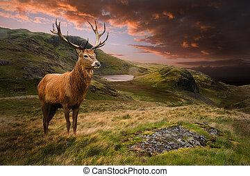 montaña, venado, ciervo, dramático, ocaso, rojo, paisaje, ...