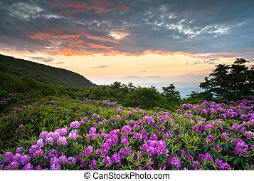 montañas azules, rododendro, caballete, escénico, primavera, encima, nc, ocaso, asheville, appalachians, parkway, flores, flores