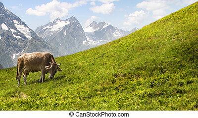 montañas., pasto, vaca