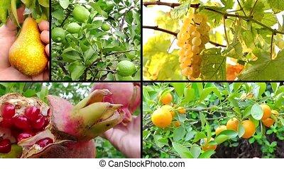 montage, récolte, gens, fruits