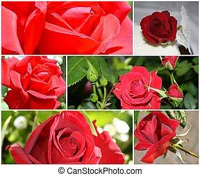 montage, van, rode rozen