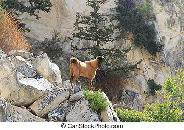 montagna,  goat
