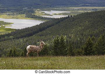 montagna rocciosa, pecora bighorn, -, banff parco nazionale