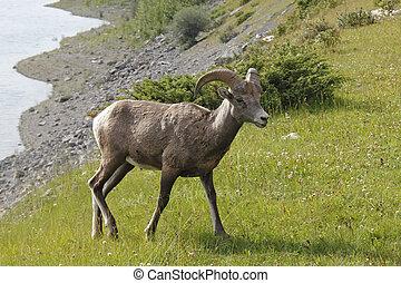 montagna rocciosa, pecora bighorn, -, jasper parco nazionale, canada