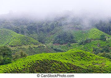 montagna, tè, mattina, nebbia, piantagioni, coperto