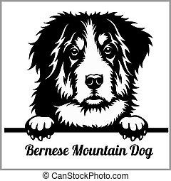 montagna, testa, razza, -, isolato, cane, bernese, sbirciando, faccia bianca, cani