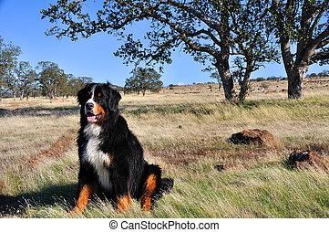 montagne, bernese, californie, chien, chaparral