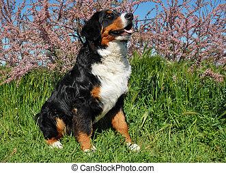 montagne, bernese, chien