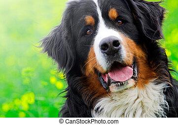 montagne, bernese, chien, portrait