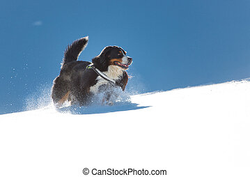 montagne, bernese, jouer, chien, neige