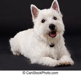 montagne blanche occidentale terrier