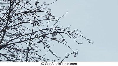 montagne, branches, hiver, cendre, oiseau, bouvreuil