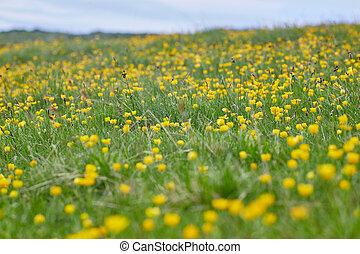 montagne, fleurs, celandine