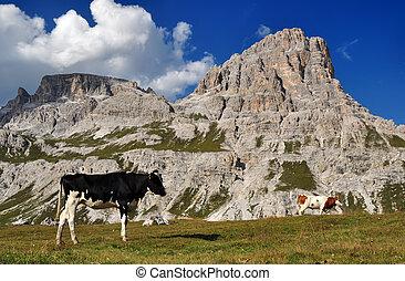 montagne, mucca, dolomiti