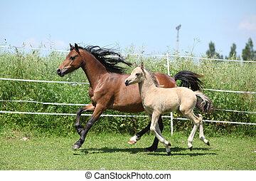 montagne, poney, jument, gallois, poulain, courant