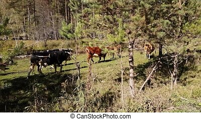 montagne, pré, été, clair, troupeau, rivière, temps, vaches, pâturage