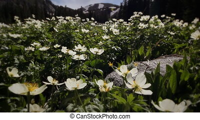 montagne rocheuse, (1203), wildflowers