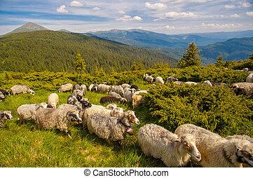 montagne, sheeps, colline, troupeau