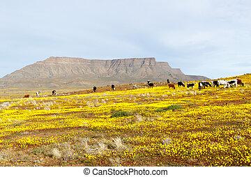 montagne,  tankwa, aimer,  karoo, regarder, fond, bétail,  table