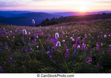 montagne, wildflowers, coucher soleil, backlit