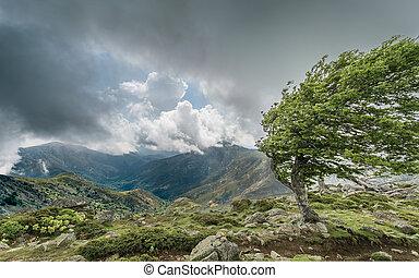 montagne windswept, arête, gr20, arbre, corse