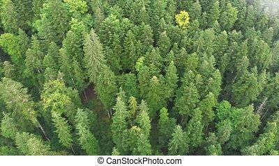 montagnes, bourdon, forêt, impeccable, carpathian, descendre...