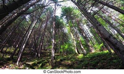 montagnes, dense, élevé, carpathian, rayons soleil, forêts, ...
